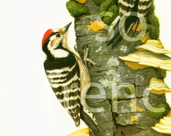 1961 Lesser spotted Woodpecker, vintage Bird Print, Dendrocopos minor, Ornithology, Natural history, nature wall art