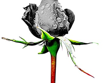 A Rose with a Difference