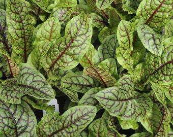 Sorrel Red Veined - 1500 Seeds - Rumex Acetosa