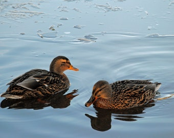 Two ducks on an icy pond