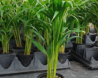 Areca Palm plant Dypsis lutescens Easy to grow!! (Free Shipping!)