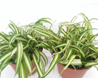 """Two Ocean Spider Plants 4"""" Pot  (FREE SHIPPING!)"""