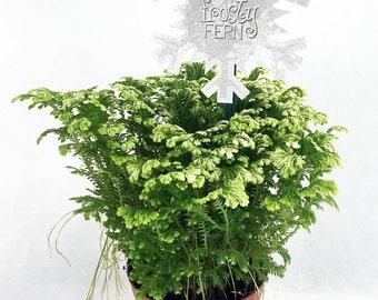 "Frosty Fern Spike Moss - Selaginella - Easy to Grow - 4"" Pot (FREE SHIPPING!)"
