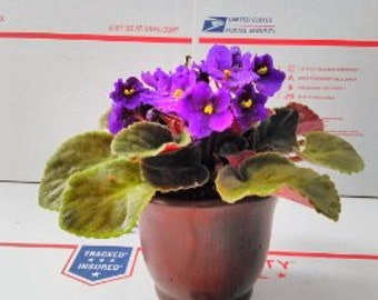 "Novelty African Violet - 4"" with Ceramic Pot  (FREE SHIPPING)"