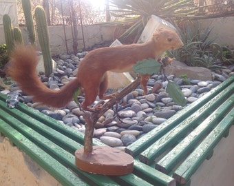 Taxidermy red squirril