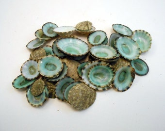 "100 Green Limpets Shells Seashells 1/2"" - 1"" Size Beautiful for Crafts and Beach Cottage Decor"