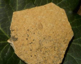 Aptychus Fossil, 12g Solnhofen Limestone Plate