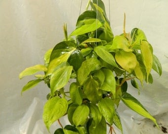 Philodendron Brasil Plant in 6 inch pot