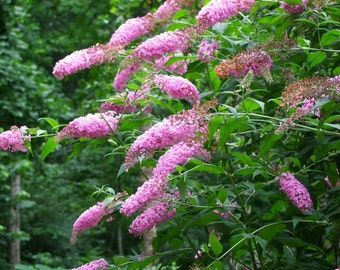 1 - Pink Delight - Butterfly Bush