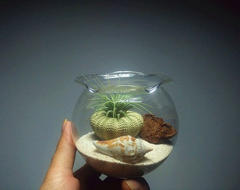"Air Plant Terrarium kit with air plant/sea urchin shell/brown bark/coral sand/4"" large mouth glass bowl-Christmas Gifts"