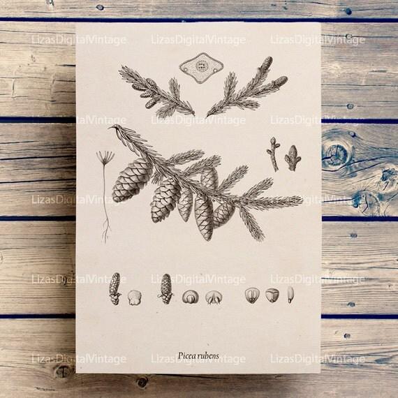 Botanical chart, Printable botanical, Spruce image, Conifer, Botanical illustration, Instant download print, Botanical, PNG JPG 300dpi