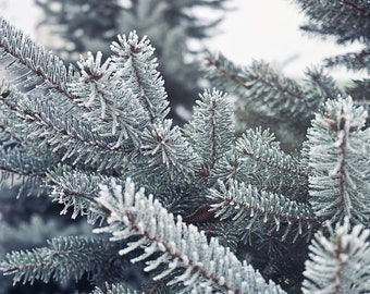 Evergreen - Evergreen Photo - Snow - Winter - Winter Forest - Forest - Nature Photo Print - Digital Photo - Digital Download - Home Decor