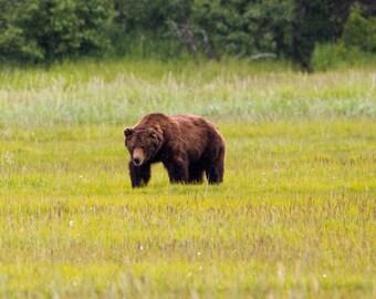Brown Bear, Nature Photography, Alaska Wildlife