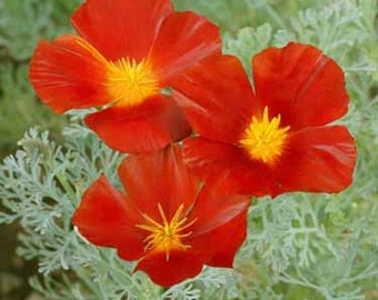 Red Chief California Poppy Flower Seeds/Eschscholzia/Annual   100+