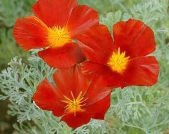 Red Chief California Poppy Flower Seeds/Eschscholzia/Annual   100+