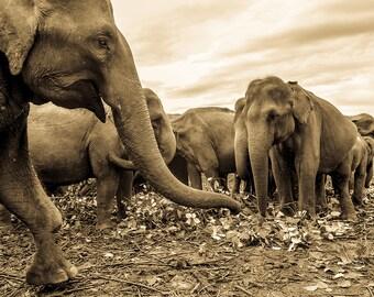 Herd Of Elephants,Sr Lanka,Travel Prints,Animals,Nature,Photographic print,Limited Edition Print
