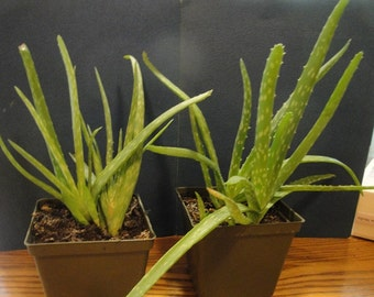 Aloe plant, either 3-5 inches or 5-7 inches tall.