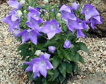 Balloon Flower Purple Seeds 50+