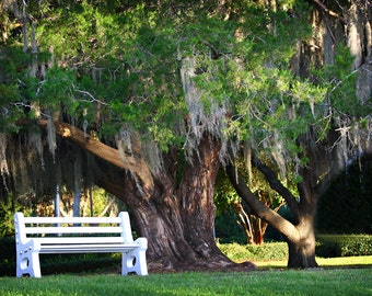 Mossy Oak Tree, White Bench, St. Simons Island, Georgia, Epworth, Summer Gallery Wrap Canvas