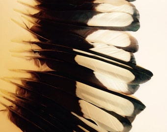 Black & white  magpie wing Feathers