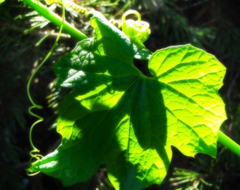 Nature Photography, Vine, Leaf, Green, Nature, Grow, Spring