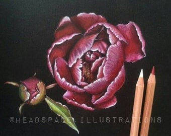 ORIGINAL Peony Colored Pencil Botanical Art by Headspace Illustrations in Pink Red and Green