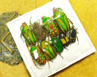 Mixed cetoniidae B2 set lots +Only for insects Art+ from Cemerroon