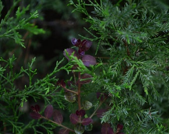 Red Leaves Against Green Cedar Photograph