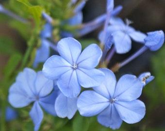Plumbago Auriculata ~ Imperial Blue ~ Live Starter Plant