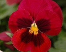 35+ Colossus Red with Face Pansy / Long-Lasting Annual / Flower Seeds