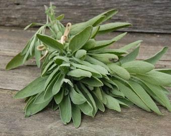 Sage, Thanksgiving herbs, garden sage, green sage