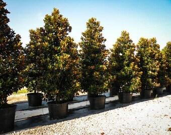 Little Gem Southern Magnolia - 7 Gallon
