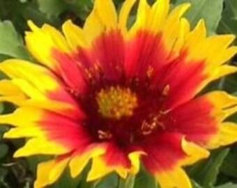 Garden Gaillardia 30 Seeds 'Dazzler'