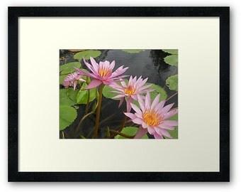Pink petal water lilies Framed Print