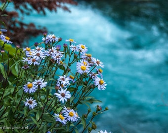 Asters and Alpine Waters, Greeting Card or Photographic Art Prints