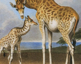 Newborn Giraffe Camelopardis Giraffa and Mother Robert Hills Zoological Print for Framing