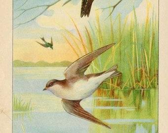 Vintage 1927 American Birds Original Bookplate Illustration, Print, Tree Swallows, Bird Outdoor Scene Print, Wall Decor,