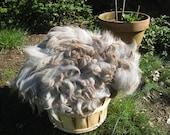 Silver Gray Alpaca, Half Pound Silver Alpaca Rose Gray Tips, Alpaca Fleece Not Washed, Long Staple Fiber, Five Inch Staple, Straight Locks