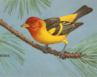 Vintage Bird Postcard Western Tanager - Artist signed W.A. Weber