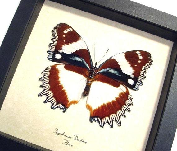 Real Hypolimnas Dexithea Verso Madagascar Diadem Framed Butterfly 193v