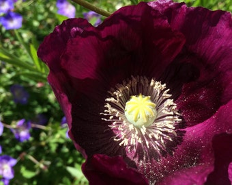 Poppy 'Lauren's Grape' Seeds (Papaver somniferum)