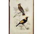 1861 ANTIQUE BIRD ENGRAVING original antique hand colored ornithology avian print - Waxwing, Bombycilla garrula