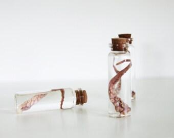 Preserved Octopus tentacle vile