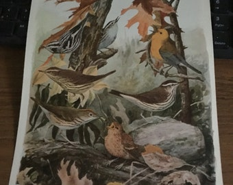 Circa 1915 Plate 92 Warbler/Thrush print image 7 x 11 approx. great image 101 years old.