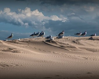 Waiting Gulls on Top of A Sand Dune by Silver Lake in Michigan No.0710 A Fine Art Bird Nature Photograph