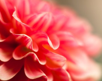 Pink and White Dahlia Petal Detail