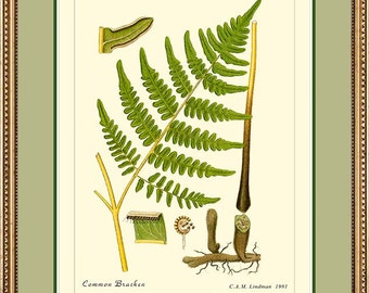 BRACKEN FERN - Vintage Botanical print reproduction 508