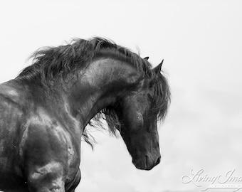 Black Friesian Looks Dawn - Fine Art Horse Photograph - Horse - Friesian -Fine Art Print - Black and White