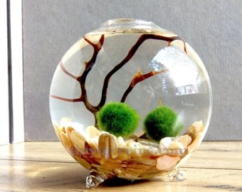 Marimo Terrarium - Marimo Moss Ball Single Globe Aquarium , Several Colors available