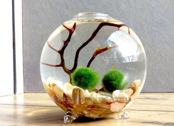 how to make a marimo aquarium